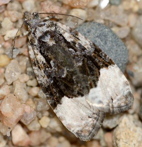 A Manitoba moth - Apotomis funerea? - Apotomis funerea