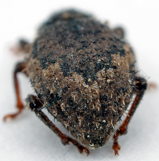 small weevil in house - Cercopeus komareki