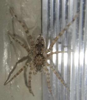 Spider 10.7.16 - Arctosa littoralis