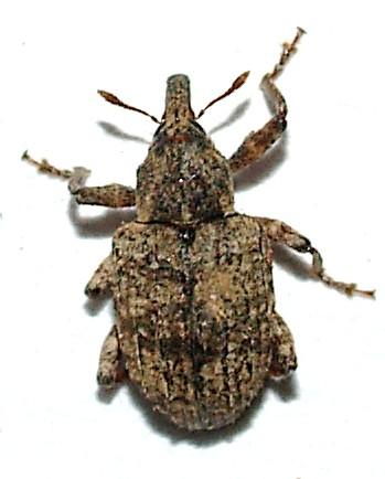 Conotrachelus seniculus LeConte - Conotrachelus seniculus