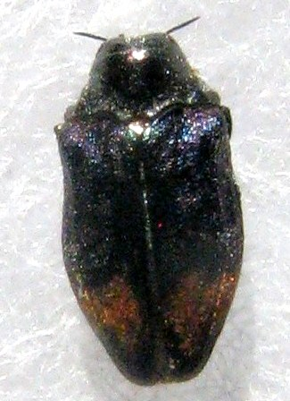 Brachys rileyi Hespenheide (allotype) - Brachys rileyi