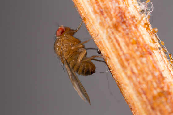 Small Fly on Stick - Drosophila immigrans