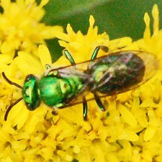 Sweat Bee - Augochloropsis metallica - male