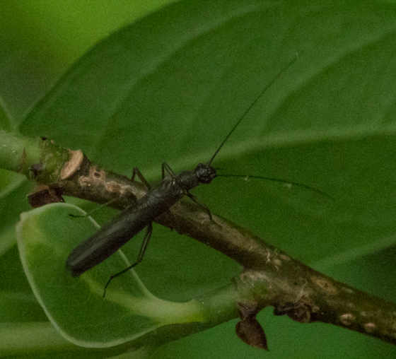 Rolled-winged stonefly (Leuctridae)?