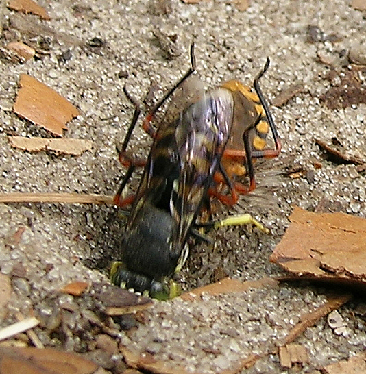 Digger wasp with bug - Bicyrtes quadrifasciatus - female