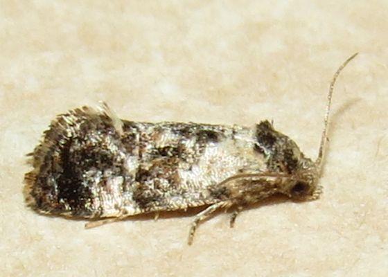 Hoffman's Cochlid Moth - Hodges#3776 - Cochylichroa hoffmanana