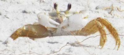 Atlantic Ghost Crab - Ocypode quadrata