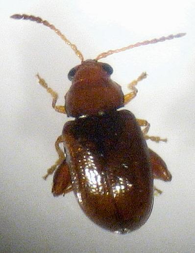 little jumping beetle - Glyptina
