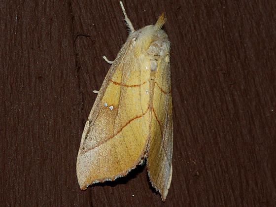 White-dotted Prominent - Nadata oregonensis