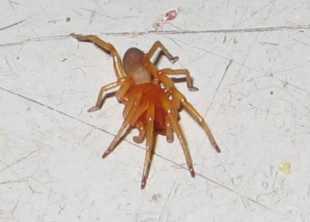 Spider ID? - Dysdera crocata