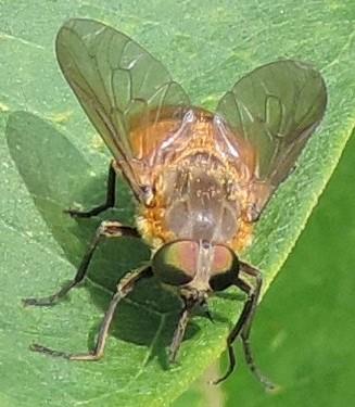 Horse Fly? - Stonemyia tranquilla - female