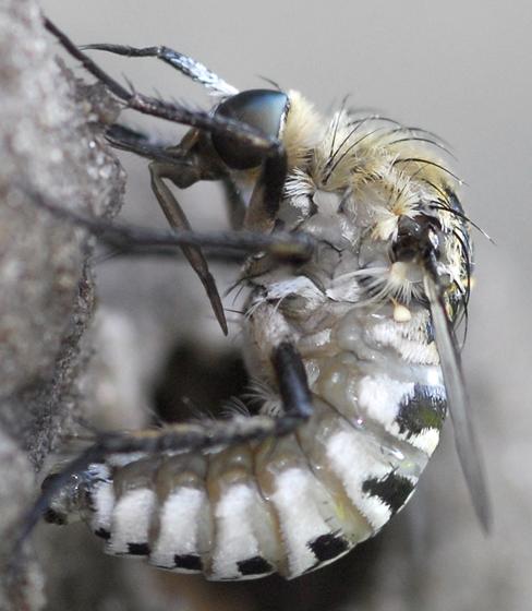 fly - Toxophora amphitea