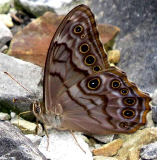 Northern Pearly Eye? - Lethe creola