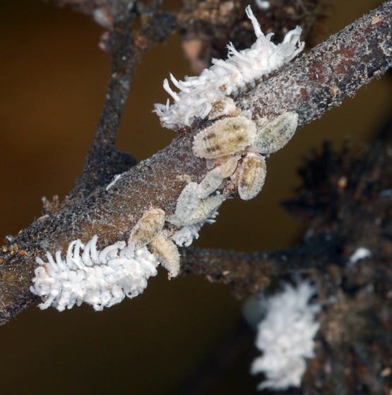 ladybug larva - Cryptolaemus montrouzieri