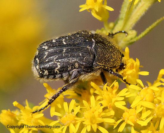 Beetle - Euphoria sepulcralis
