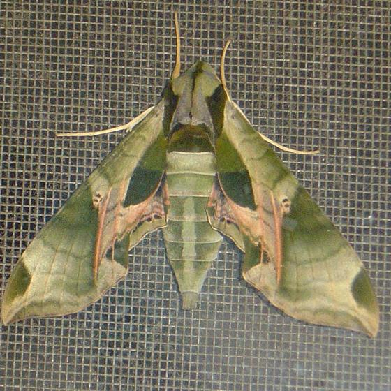 Camo moth - Eumorpha pandorus