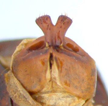 Phyllophaga anxia - female