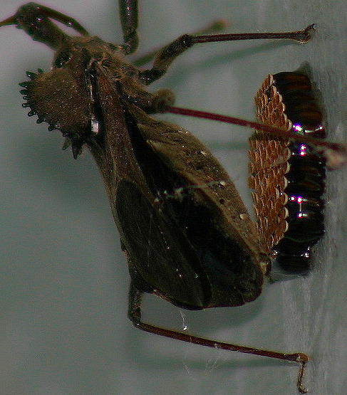 Wheelbug Laying Eggs - Arilus cristatus - female