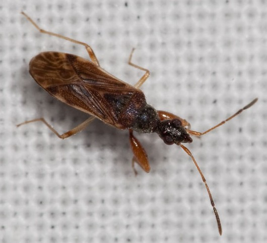 Zimlich Zone Bug Light - Heraeus plebejus