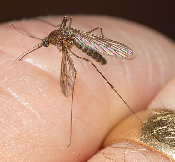 Mosquito - Culex restuans
