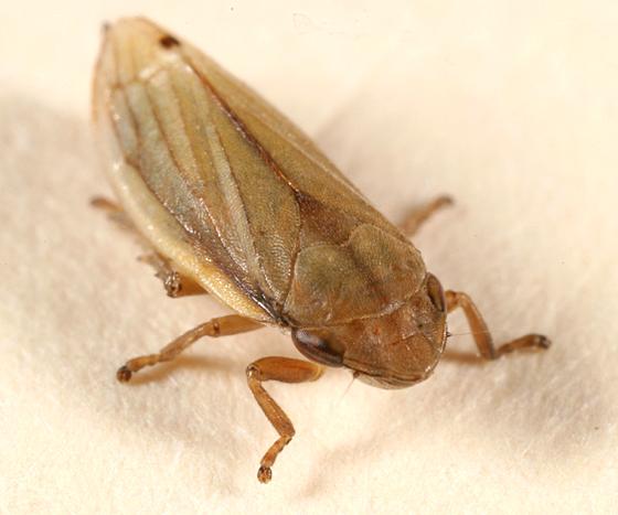 spittlebug - Neophilaenus lineatus