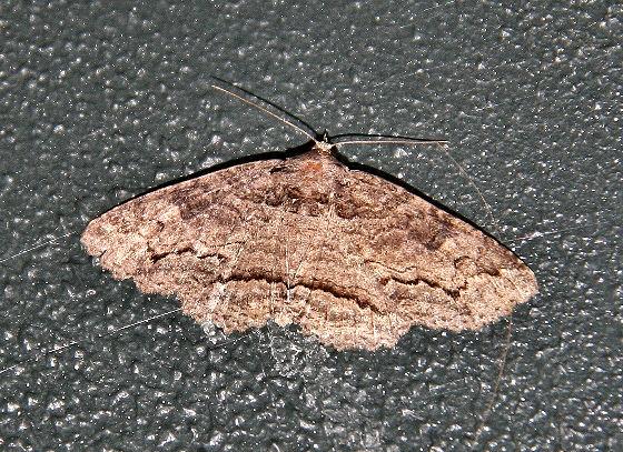 This looks like a Zale phaeocapna? - Zale galbanata