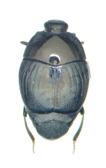 Euspilotus assimilis