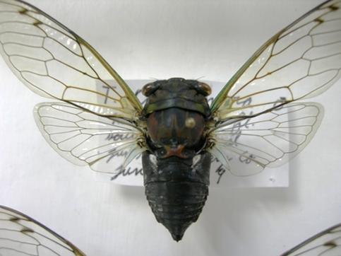 Tibicen tibicen australis (MALE 005) - Neotibicen tibicen - male