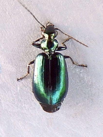 Pennsylvania Beetle  - Lebia viridis