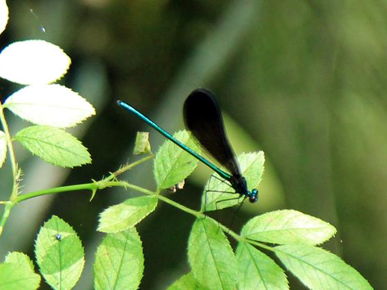 Calopteryx maculata? - Calopteryx maculata - male
