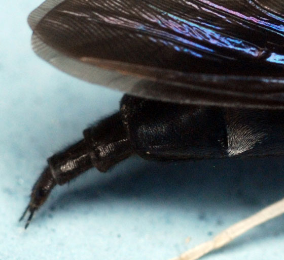male abdominal tip, black soldier fly - Hermetia illucens - male