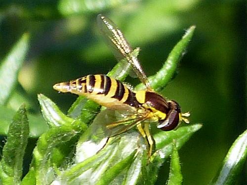 Syrphidae ?? - Sphaerophoria