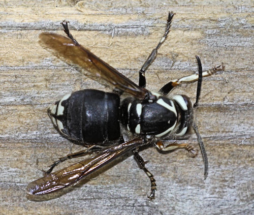 Baldfaced Hornet - Dolichovespula maculata - Dolichovespula maculata