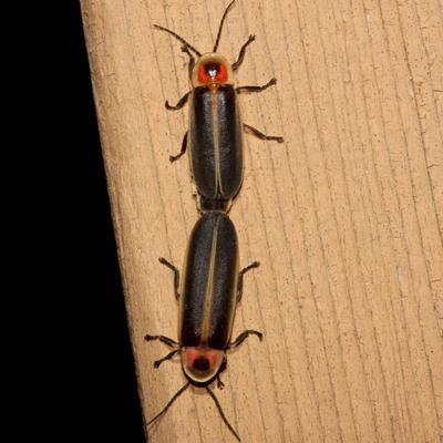 Fireflies - Photinus - male - female