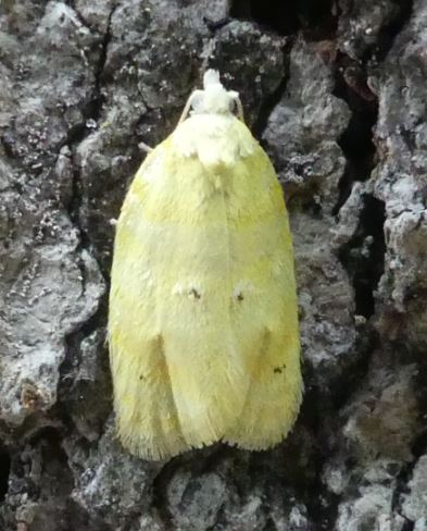 Small Pale Yellow Moth - Acleris