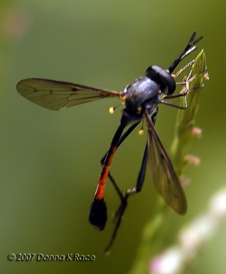 Ammophila Mimic - Systropus macer