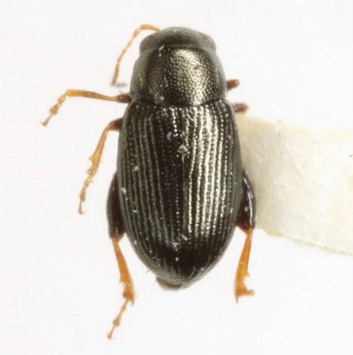 Chaetocnema densa R. White - Chaetocnema densa