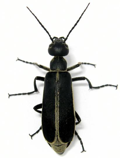 Margined Blister Beetle - Epicauta funebris