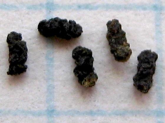 Droppings - Pyramidobela angelarum