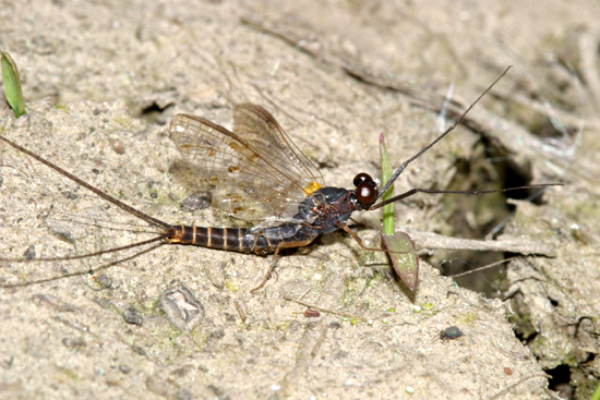 Mayfly - Leptophlebia cupida