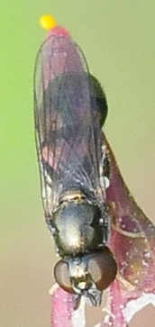 Syrphidae Neoascia metallica  - Neoascia metallica