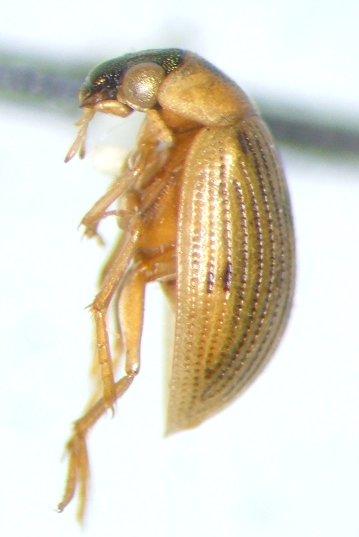 Berosus aculeatus