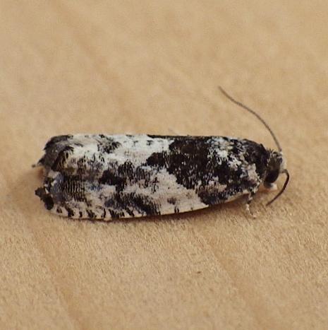 Tortricidae: Gypsonoma adjuncta - Gypsonoma adjuncta