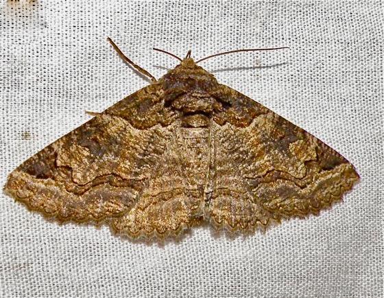 Moth - Zale colorado