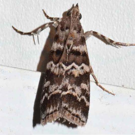 Moth - Dioryctria