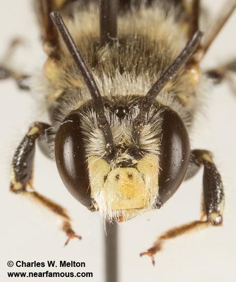 Anthidiini - Anthidium - male
