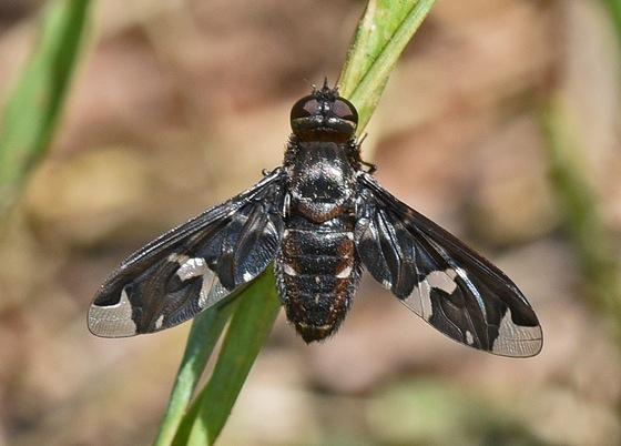 Fly 1756 - Exoprosopa decora
