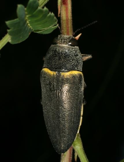 beetle 43 - Hippomelas planicauda