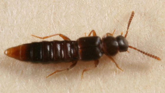 Rove Beetle - Leptusa
