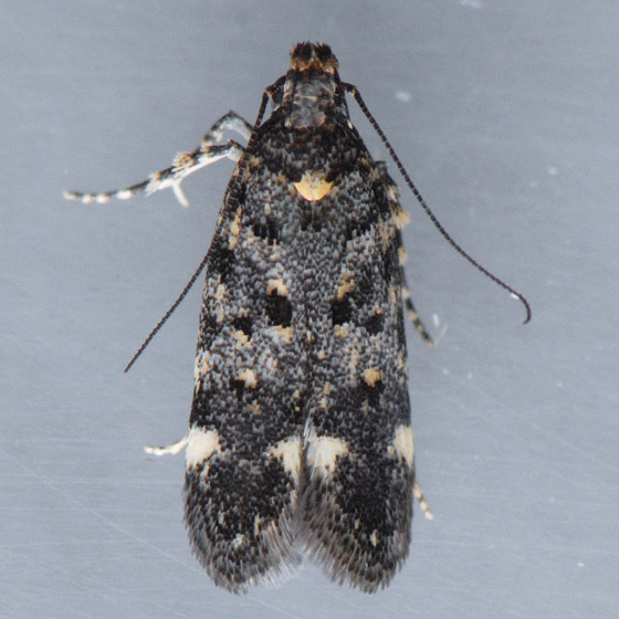 Moth for ID  - Chionodes emptor